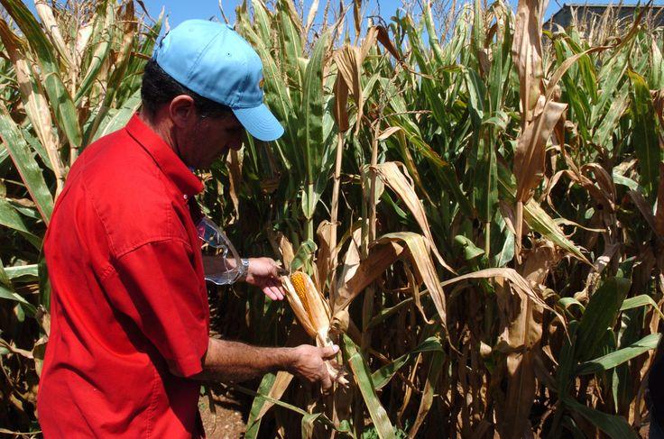 La reciente votación de la UE sobre la autorización del maíz transgénico ha reavivado el debate entre partidarios y detractores de estos productos.
