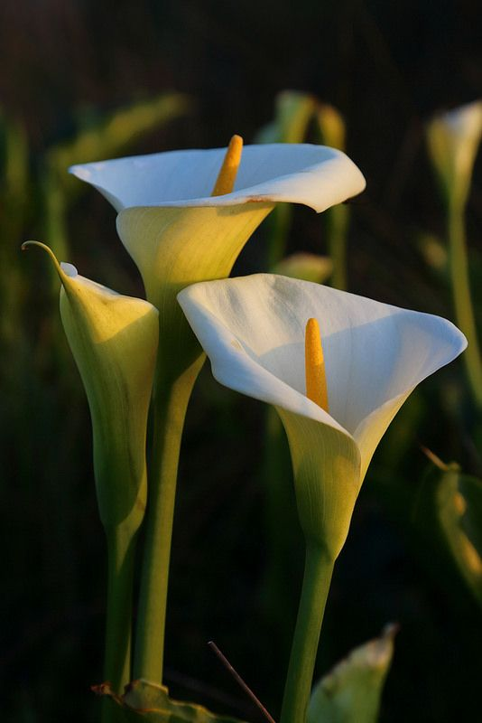 ~~Happy Easter ~ Calla Lilies by Don McCullough~~