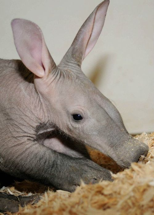 Chicago's Brookfield Zoo is happy to announce the birth of an Aardvark on January 12, 2012. Because of the dedicated care provided by the Society's zookeepers, veterinarians, veterinary technicians, and nutritionist, the now healthy 13-pound calf has a bright future ahead of it. Although the calf will not be on exhibit for several months, zoo guests will be able to view it via a live video monitor In the near future.