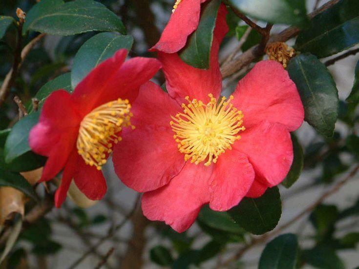 Red plant -Camellia