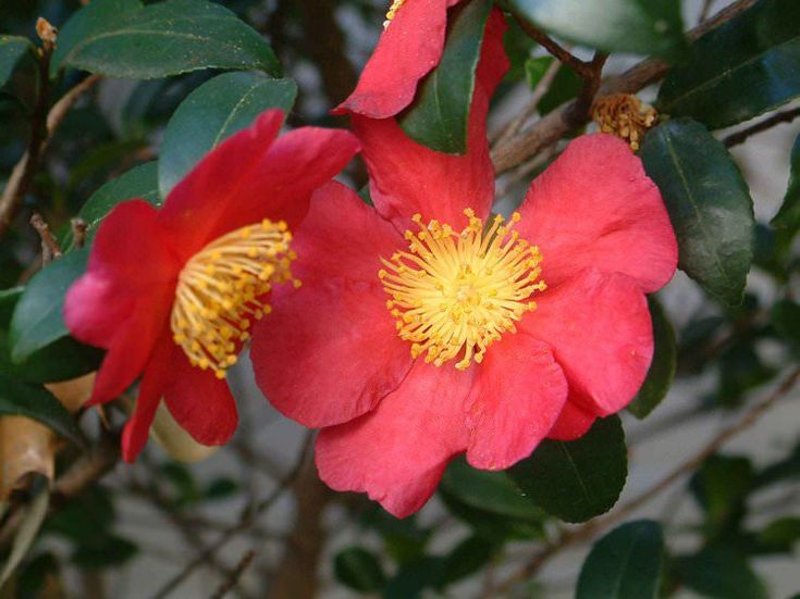 Red plant -Camellia