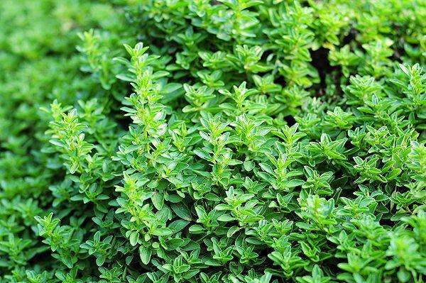 Tips for Growing a Culinary Herb Garden   shewearsmanyhats.com