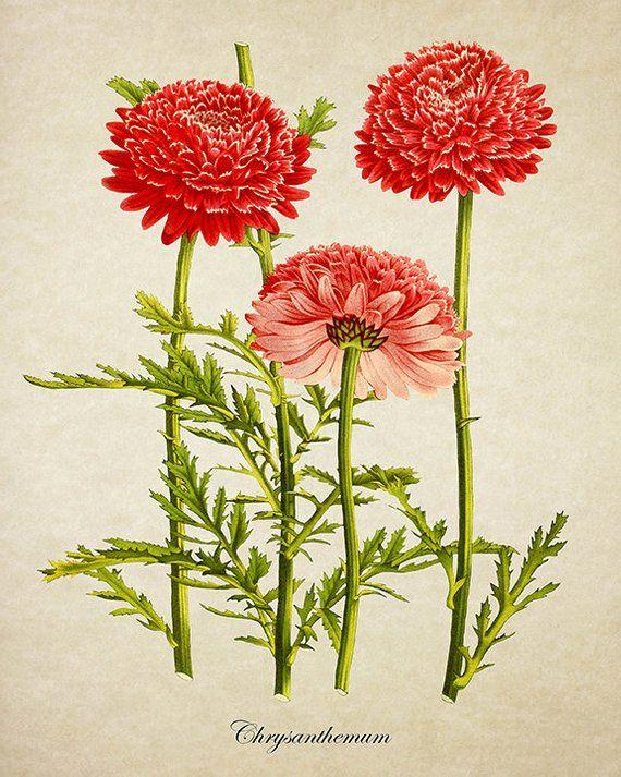 Chrysanthemum Botanical Print Red Chrysanthemum Flower Print Etsy Flower Illustration Botanical Drawings Flower Drawing