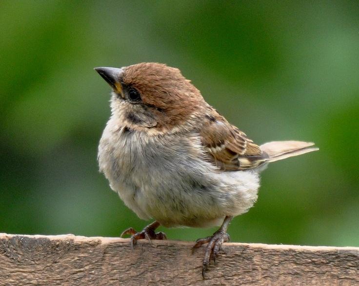 tree sparrows at RSPB Bempton Cliffs