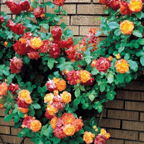 120 Best Climbing Roses Images On Pinterest Gardening And Flowers Garden
