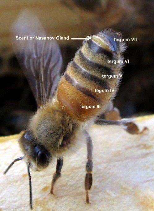 Honey bee worker showing Nasanov gland