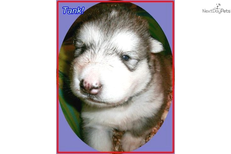 Pin By Dog Life On Alaskan Malamute Alaskan Malamute Giant