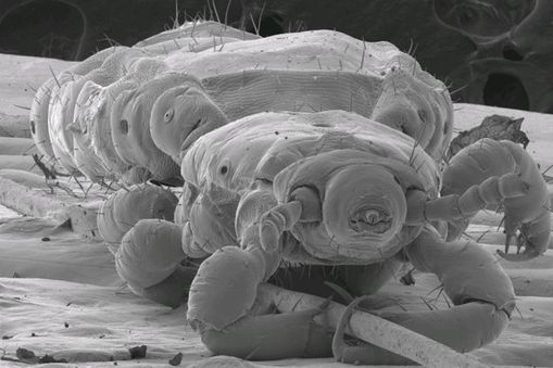 A head louse clasping a human hair. The image was taken using an SEM at 110x magnification. At low magnifications like this, SEM generates three-dimensional images that are in focus throughout the depth of the sample.