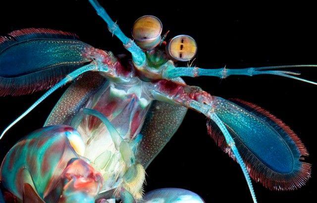 El camar n mantis es un crust ceo que exhibe una gran gama for Gama de colores vivos
