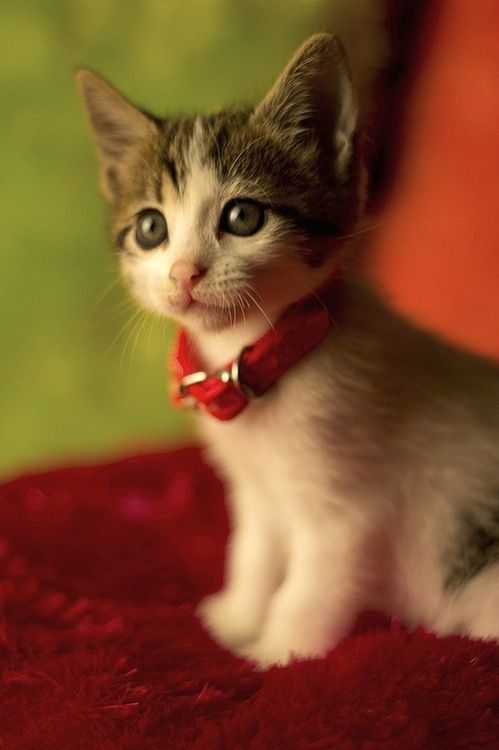 cute kitten with a red collar