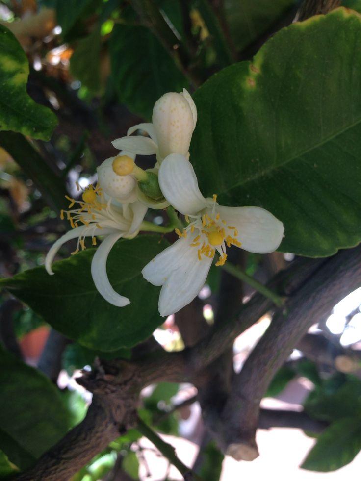 Sitron blom