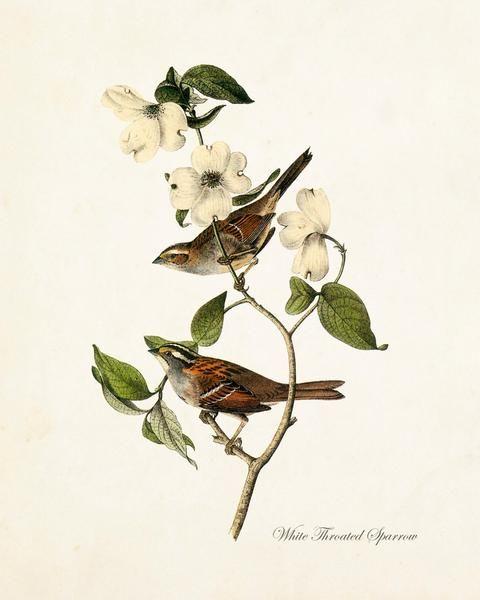 Vintage Audubon White Throated Sparrow