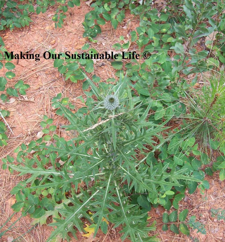 purple thistle used to curdle milk and make cheese (ADVANCED corn free)