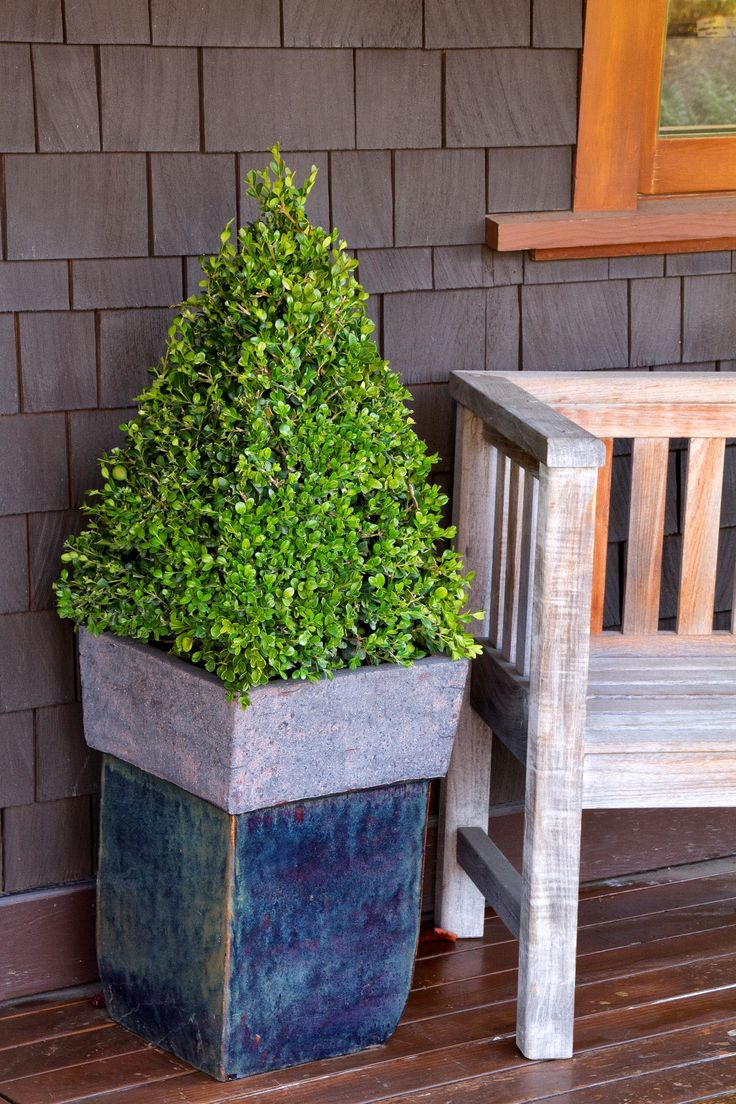 Winter Gem Boxwood is among the hardiest of the small-leaved boxwoods, the rich green foliage can acquire a golden bronze hue in cold winter zones, but is one of the first to become green again in spring. Makes a wonderful addition to formal gardens, providing year-round interest.