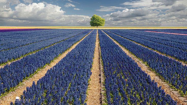 Hyacinths & Tree | by larsvandegoor.com