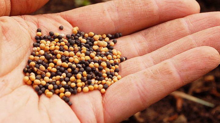 Zelené hnojenie vyvýšených záhonov
