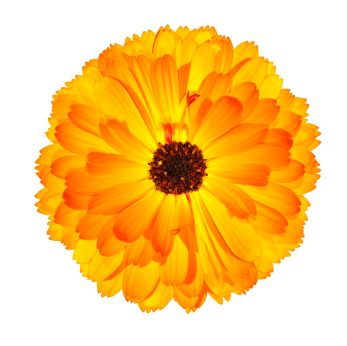 Calendula Flower I want this on top of my shoulder so it lays in between my collar bone and shoulder blade. It is my birth month flower