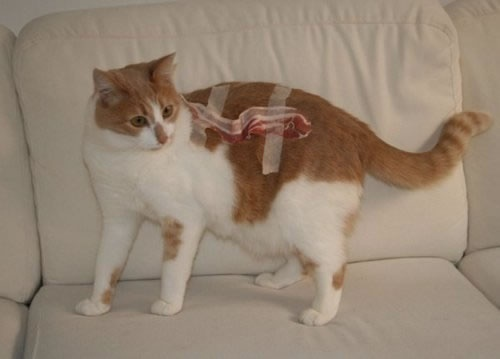 stupid cats owner.: Random Pictures, Bacon Cat, Diet, Funny Pictures, Cat Owners, Funny Stuff, Stupid Cat, Weights Loss, Around The Houses