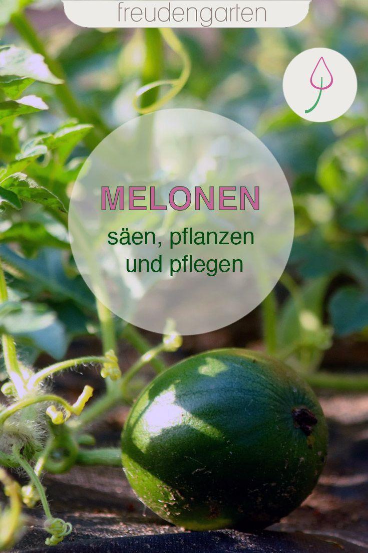Melonen Saen Anbauen Pflegen Und Ernten Melonen Anbauen Melonen Pflanzen