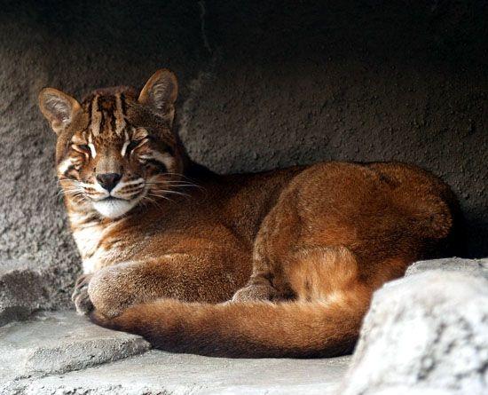 Asian Golden Cat (Pardofelis temminckii, syn. Catopuma temminckii),