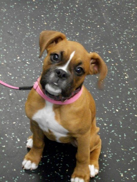 Grad school is too demanding. I just want to stay home and look at pictures of boxer puppies.