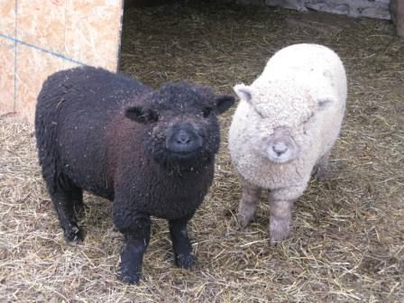 Babydoll Sheep! They smile at you!!!!