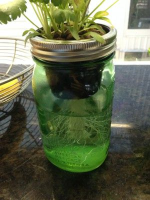 hydroponic herb garden. Glass Mason Jar Hydroponic Garden System Herb