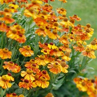 Love these yellow bloomsBeautiful Flower, Fall Flowers, Southern Gardens, Fall Bloom, Helenium, Native Plants, Flowers Garden, Fall Flower Gardens, Fall Gardens