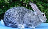 American Rabbit Weight: 9 - 12 pounds. Body Type: Slate blue or white. This rabbit has well-rounded hindquarters, narrow shoulders, and long erect ears.