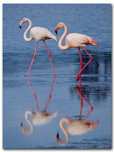 Flamingos, Larnaka Lake, Cyprus