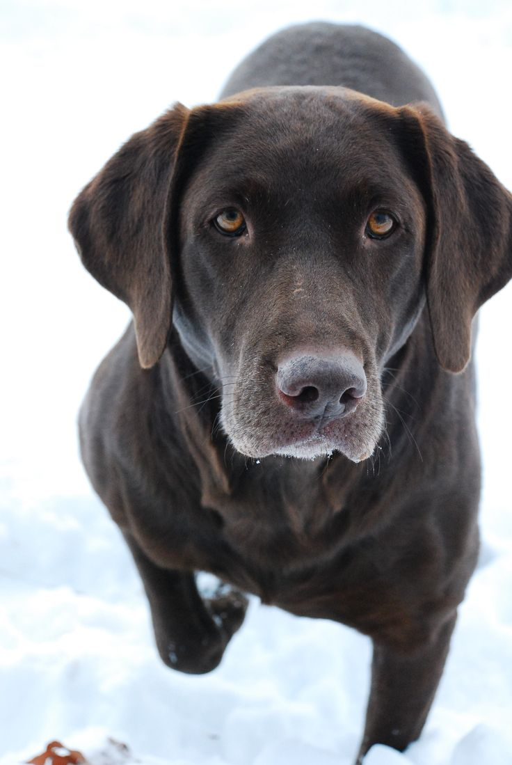 753 best CHoCoLaTe LaBs images on Pinterest | Chocolate labs ...