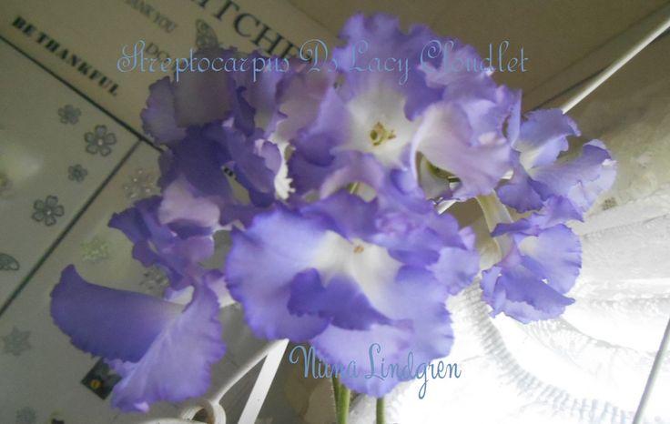 Streptocarpus DS-Lacy cloudlet