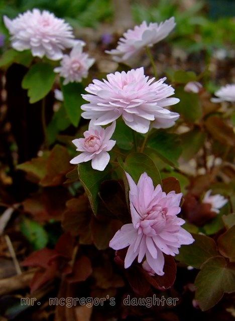Thalictrum/Anemonella thalictroides 'Cameo'