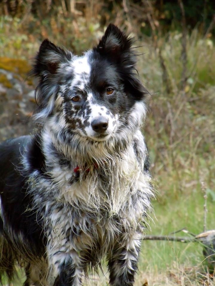 Valentina, Blue heeler-border collie mix