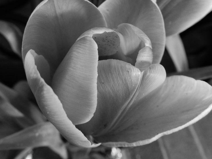 Tulip Macro Photo Nikon P500