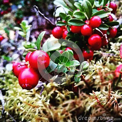 ripe Cowberry from the north