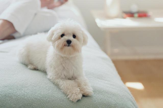 Maltese Dog Breed Profile