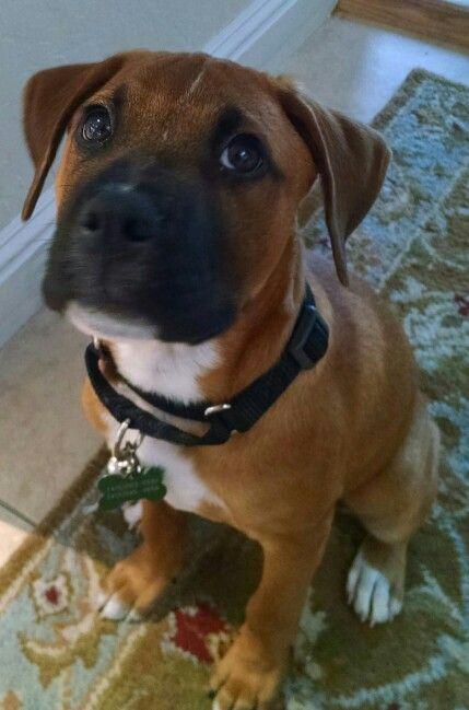 Best 25+ Boxer beagle mix ideas on Pinterest | Puggle ... Beagle Boxer Mix Full Grown