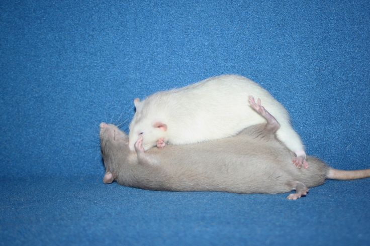 Here's an album of my rats play fighting #aww #cute #rat #cuterats #ratsofpinterest #cuddle #fluffy #animals #pets #bestfriend #ittssofluffy #boopthesnoot