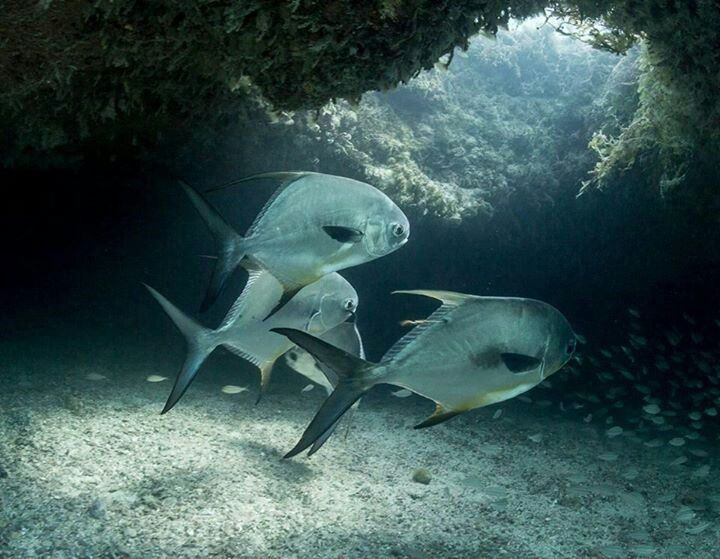 389 best images about bonefish permit flies on pinterest for Permit fly fishing
