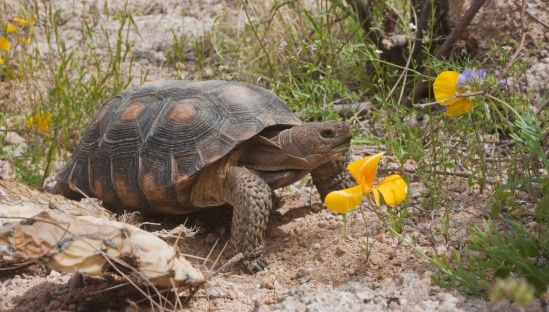 Texas Gopher Tortoise -