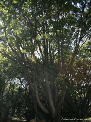 Harpephyllum caffrum (Wild Plum) The Wild Plum is another very popular tree in Gauteng, being regularly used on sidewalks and in shopping centres. It tends to forms a very large, very wide, very dense crown,