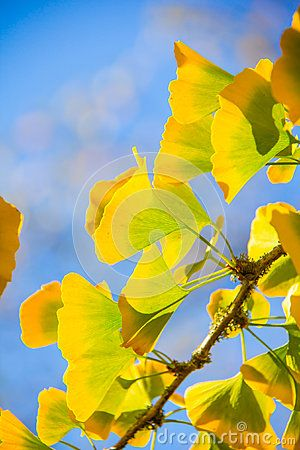 The glorious colors of fall displayed by the bright yellow of the ginkgo leaves against a blue sky.