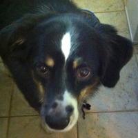 September... Adopt Foster Volunteer.  Took home Cute Muttville mutt: Freckles 1424 (Aussie shepard | Male | Size: medium): 1424 Aussies, Aussies Shepards, Aussie Shepards