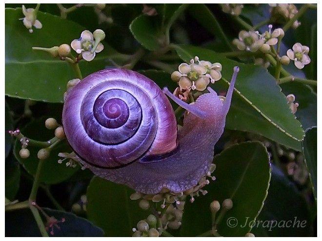 Purple snail by ~Jorapache  Photography / Animals, Plants & Nature / Invertebrates