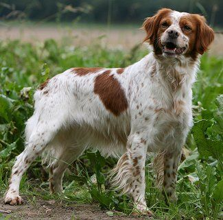 Brittany. They are members of the sporting group. They are great bird dogs and companions. They stand at 17 1/2-20 1/2 inches at the shoulder and weigh about 30-40 pounds.