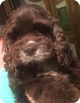 Arlington, TX - Cocker Spaniel Mix. Meet Chloe, a dog for adoption. http://www.adoptapet.com/pet/18525687-arlington-texas-cocker-spaniel-mix