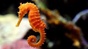Seahorse Facts For Kids   An Antique of Marine Life