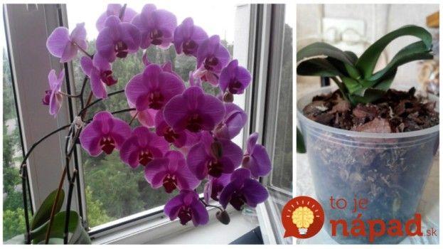 Vodu jej už vôbec nedávam: Skúsila som tento zvláštny trik, ako prebrať orchideu a po dvoch rokoch mi takto úžasne zakvitla!
