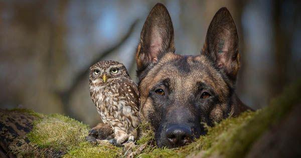 Niektoré priateľstvá medzi zvieratami sú naozaj zaujímavé, jedny sú vtipné iné zas prekvapia k neuvereniu. Priateľstvo malej sovy menom Poldi